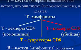 Т-лимфоциты — что это такое, зачем они нужны и как используются в диагностике?