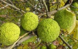 Маклюра для суставов – настойка и ее основные свойства, народные рецепты